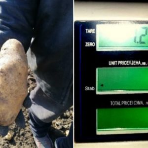 Еко картоф-гигант отгледа земеделец в Брезнишко